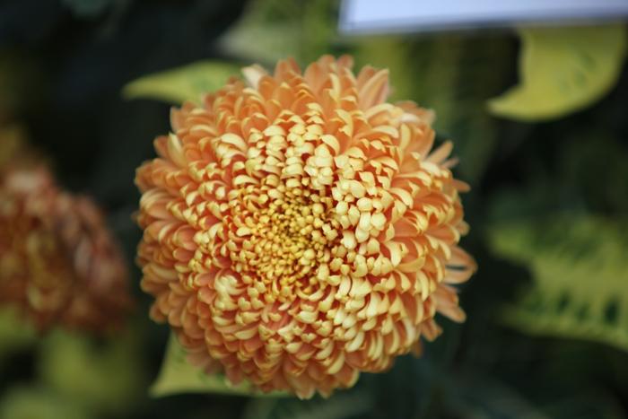 Flori 190