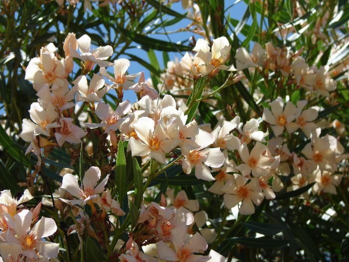 Flori 240