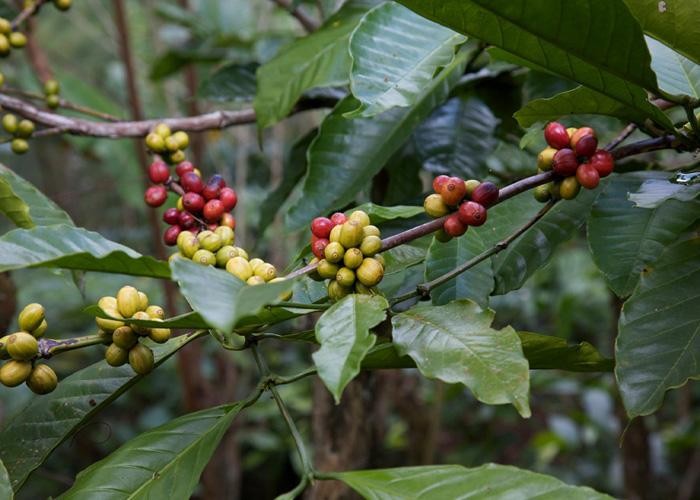 arbore-cafea
