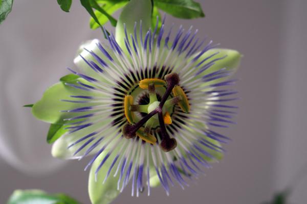 Floarea_pasiunii