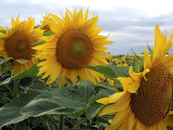 Floarea_soarelui