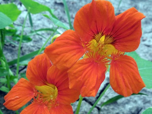 Flori-Condurul_doamnei
