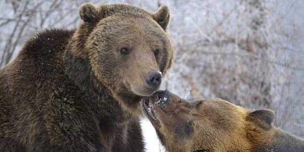 BRAŞOV: Sanctuarul de urşi de la Zărneşti