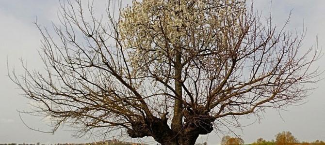 Pomul dublu din Casorzo