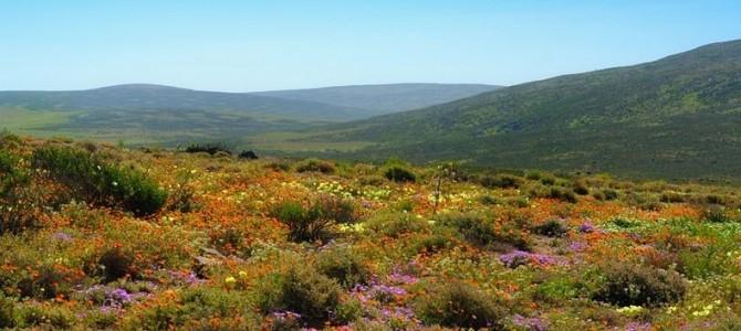 Miraculoasele flori de primăvară din Namaqualand