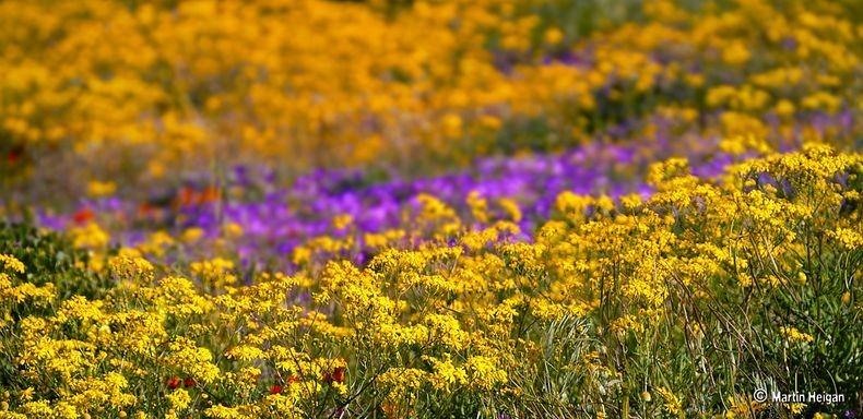 Namaqualand-flori4