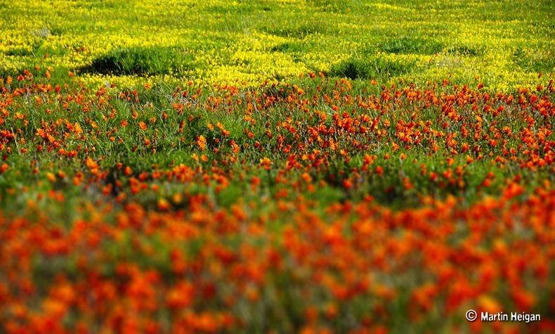 Namaqualand-flori5