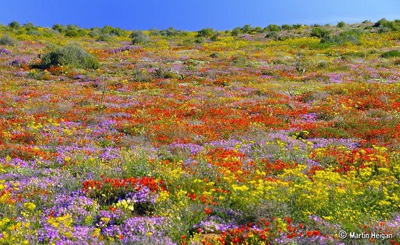 Namaqualand-flori6