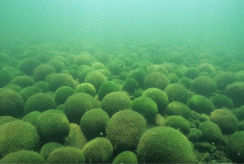 bile-alge2