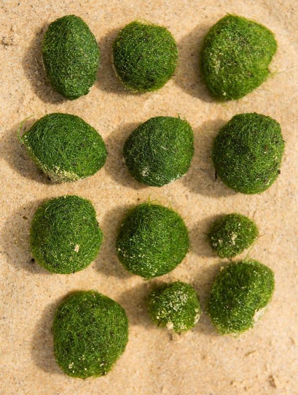 bile-alge7