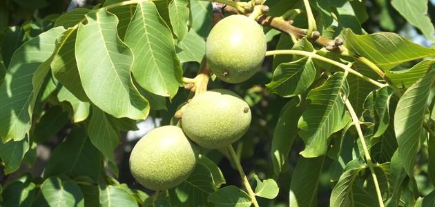 Frunzele de afin, de nuc sau tecile de fasole pot fi folosite în cazul diabetului
