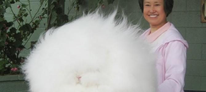 Cel mai pufos iepure din lume