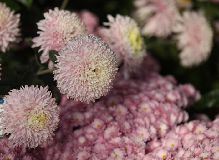 Flori 135