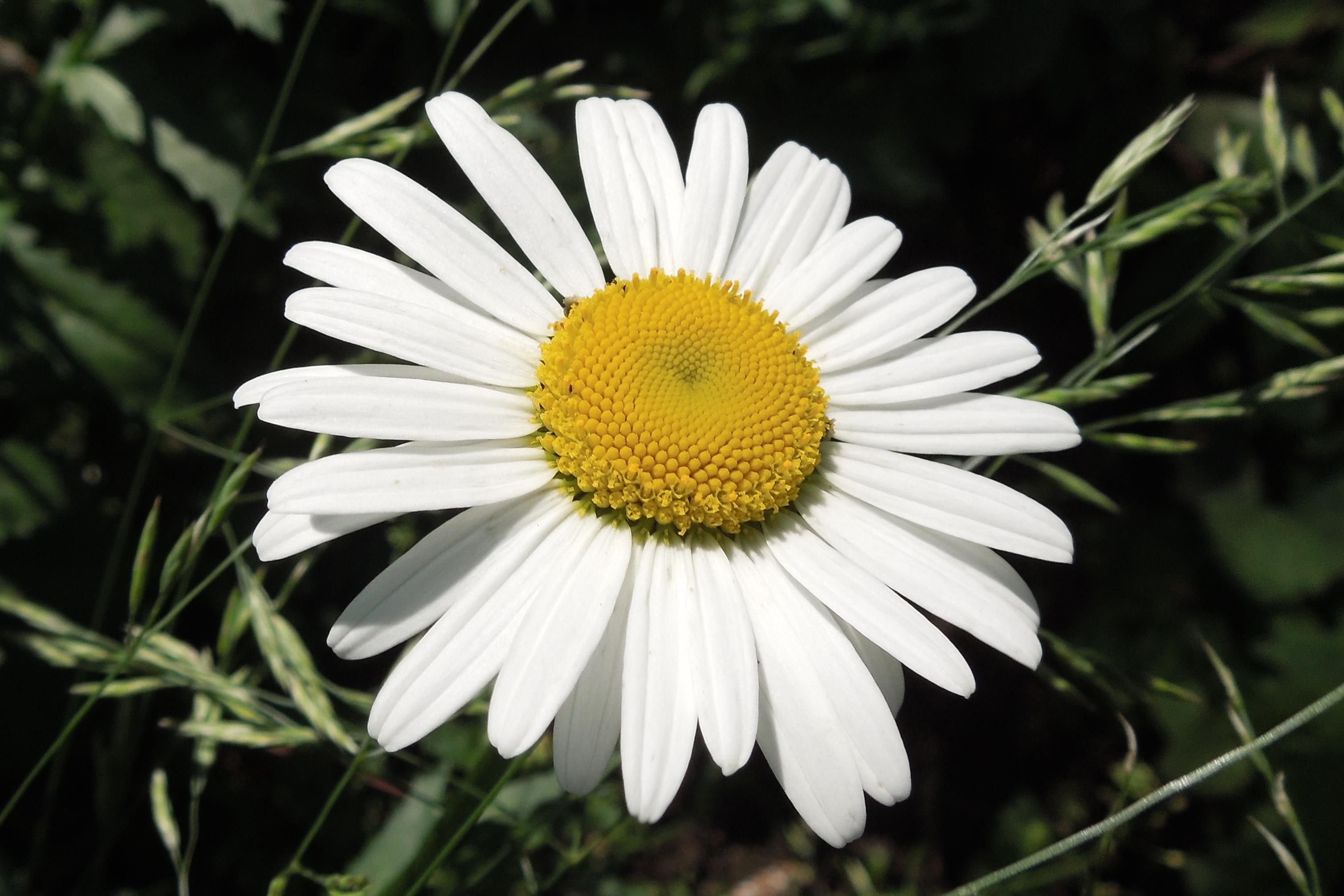 Flori-Margareta