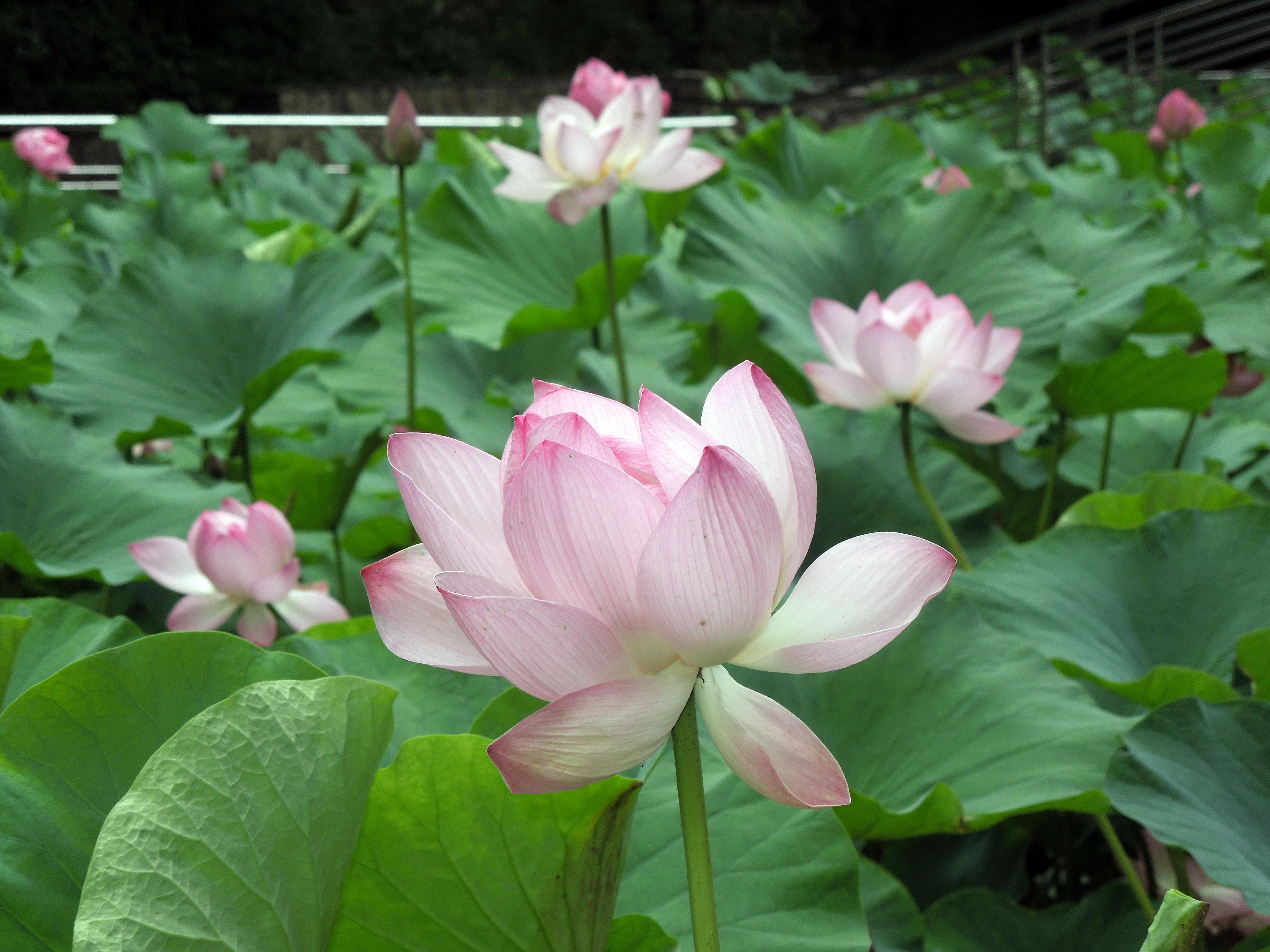 Flori-Nufar_termal
