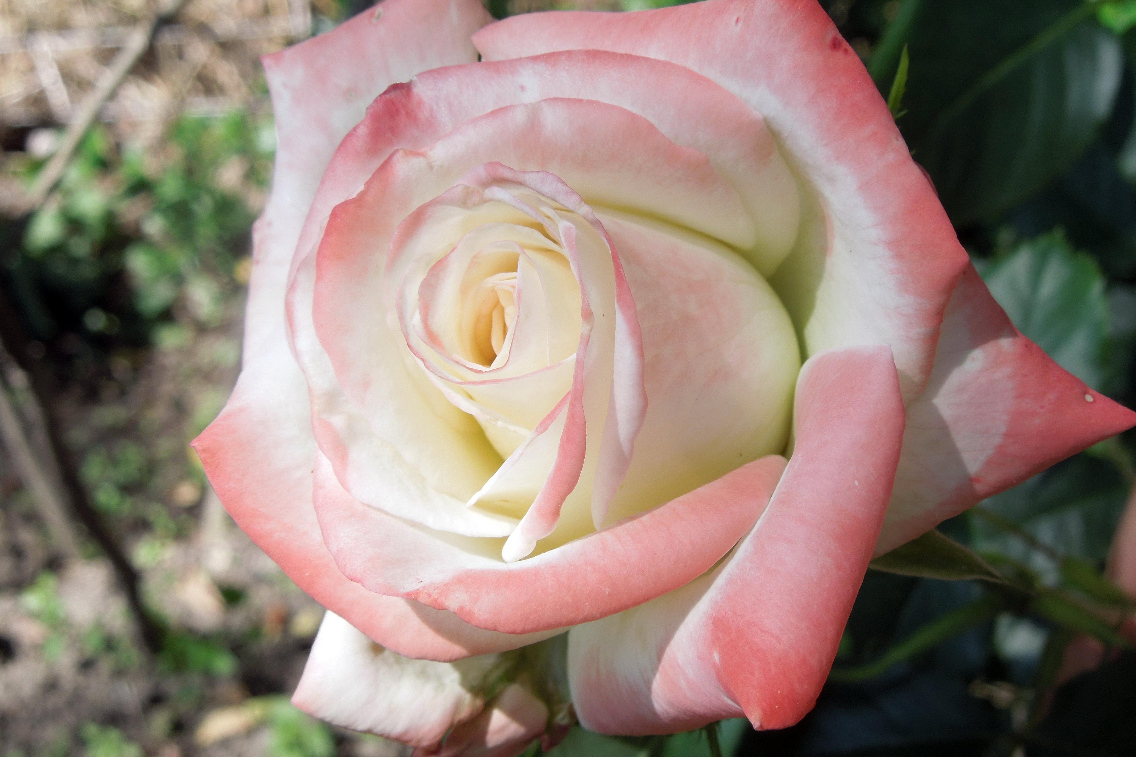Flori-Trandafir002