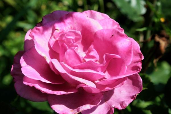 Flori-Trandafir02