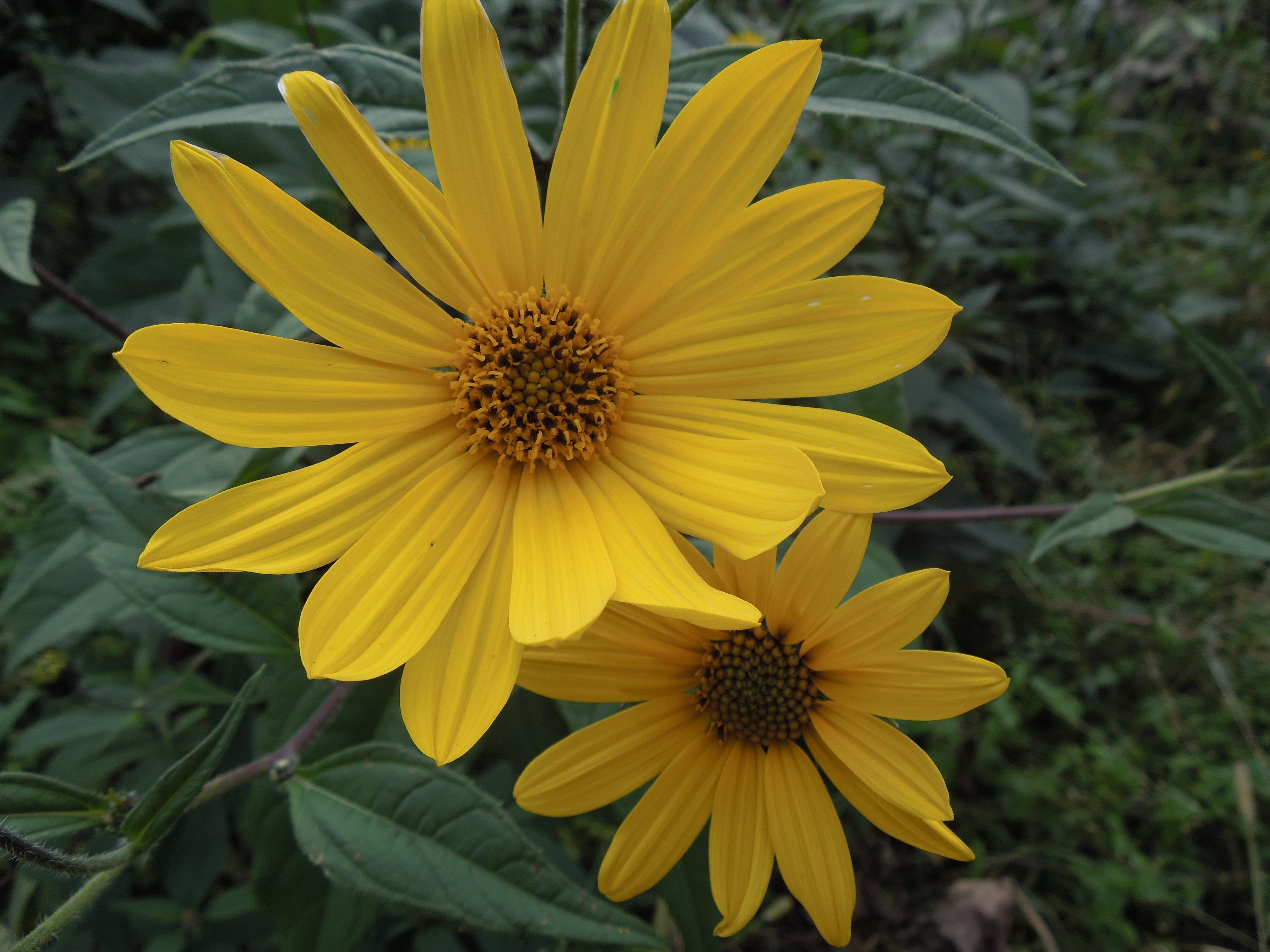 Flori-helianthus tuberosus, sora florii soarelui