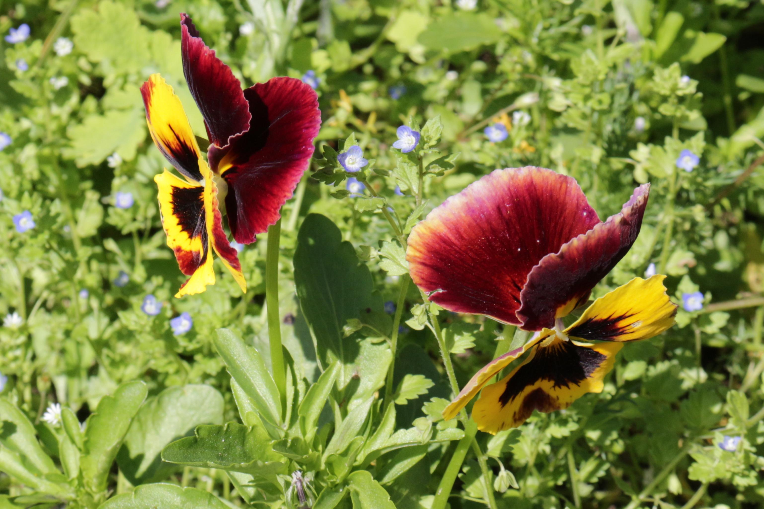 Flori-panselute01