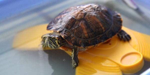 Broasca ţestoasă: un animal de companie sensibil şi pretenţios