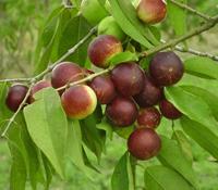 Camu-camu, fructul cel mai bogat în vitamina C