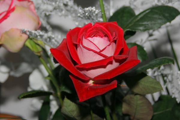 flori_trandafir02