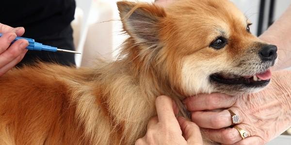 Câmpia Turzii reuşeşte microciparea tuturor câinilor cu stăpân