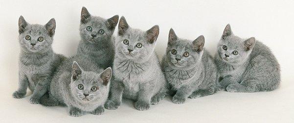 pisica-chartreux-01