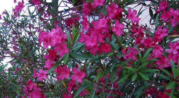 Flori 223