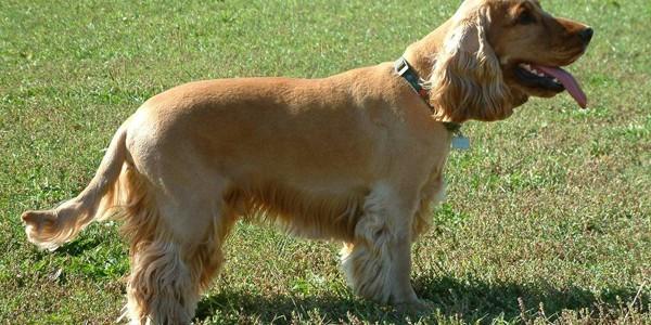 Câinele Cocker Spaniel: dresajul este obligatoriu