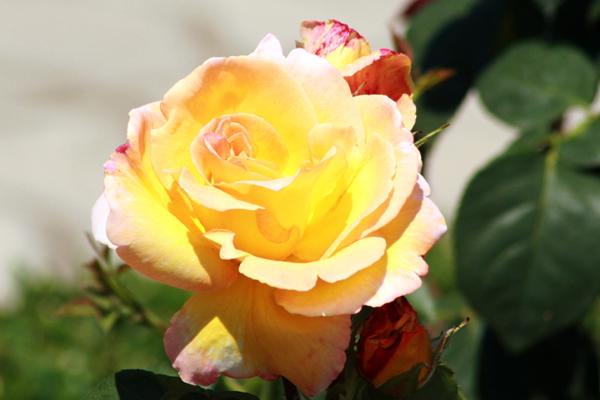 flori_trandafir