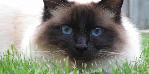 Pisica birmaneză