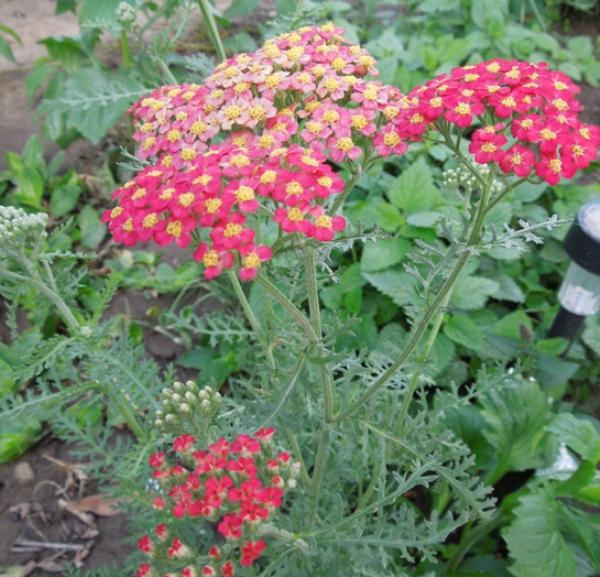 Flori-Coada soricelului cu flori rosii