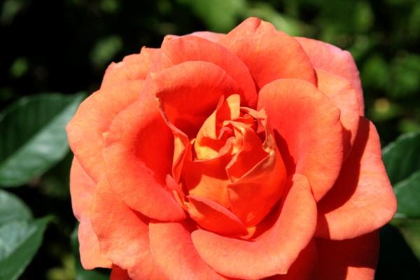 Flori-Trandafir01