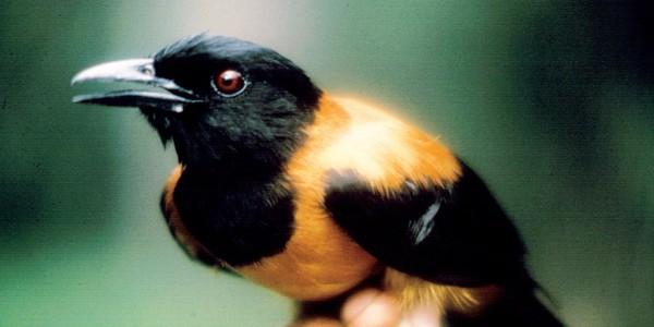 Cea mai veninoasă pasăre din lume