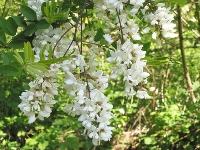 Chiftele din flori de salcâm, mâncarea de sezon a apicultorilor