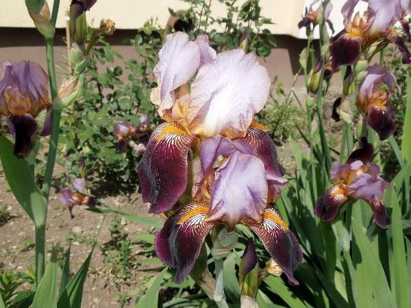 irisi01