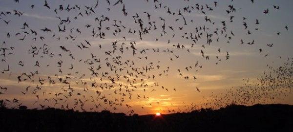 Cea mai mare colonie de lilieci din lume