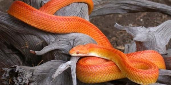 Şarpele de porumb
