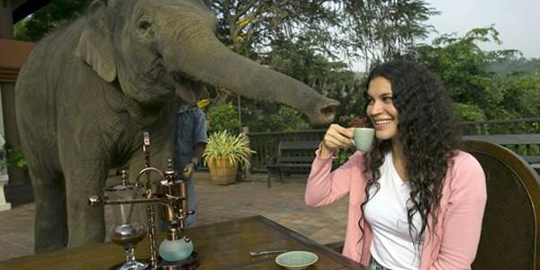 Cafea extrasă din balegă de elefant, o delicatesă la preţuri piperate