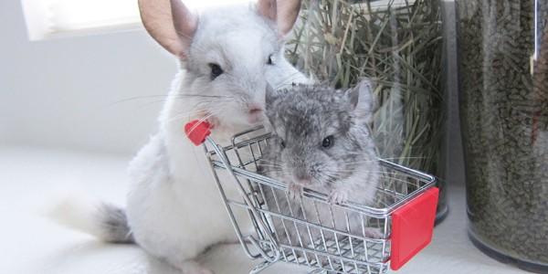 Chinchilla, un animal de companie curat şi prietenos