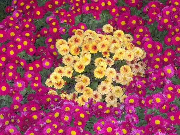 Crizanteme_02