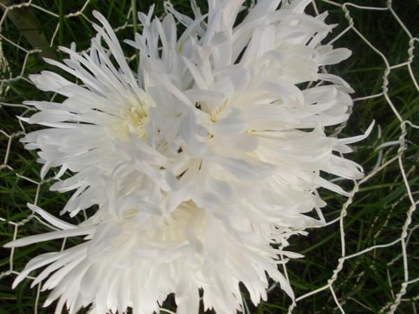 Crizanteme_06