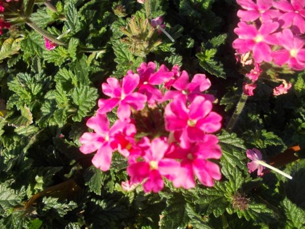 Crizanteme_168