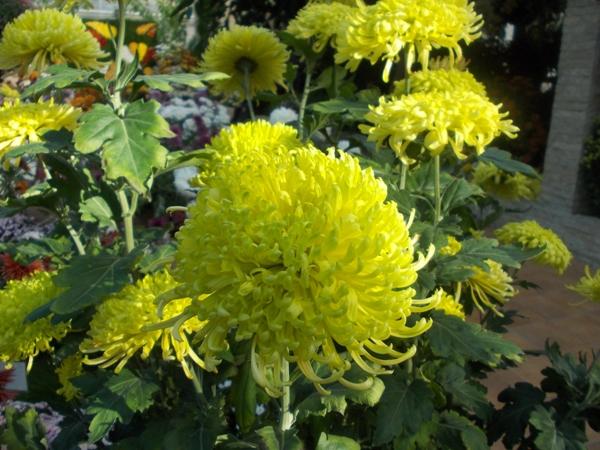 Crizanteme_60