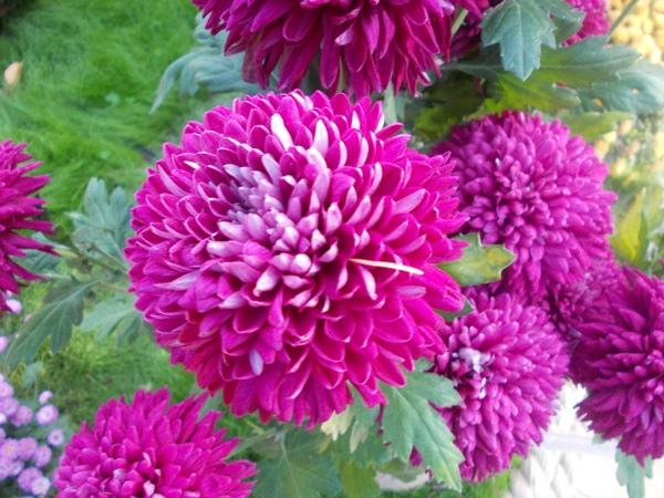 Crizanteme_64