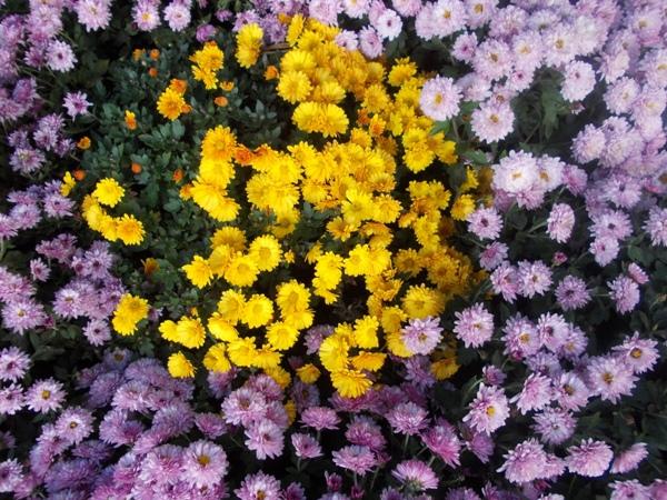 Crizanteme_04