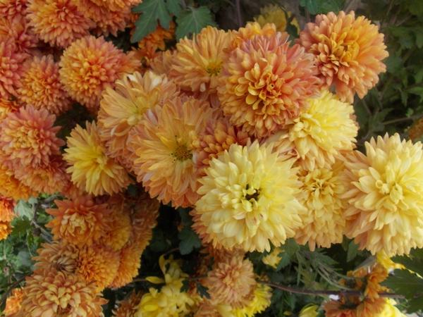 Crizanteme_11