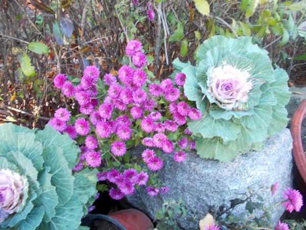 Crizanteme_129