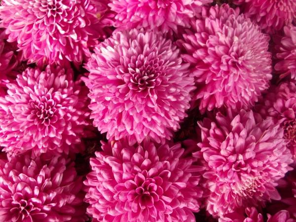 Crizanteme_13